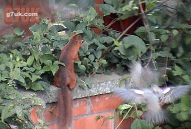 A red squirrel in the garden